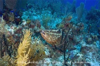 Nassau Grouper Cleaning Station 2