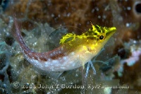 Diamond Blenny Yellow Variation Profile
