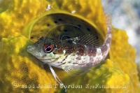 Saddled Blenny Profile 2