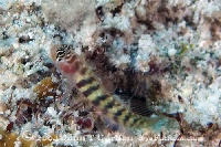 Unidentified Stripped Goby