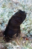 Sailfin Blenny Portrait