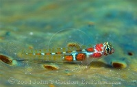 Orangesided Goby Profile