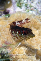 Saddled Blenny Profile 5