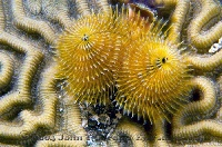 Christmas Tree Worm Gold