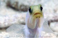 Yellowheaded Jawfish Portrait