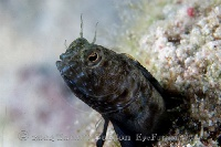 Sailfin Blenny Portrait 2