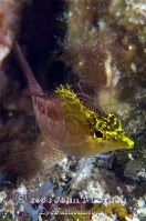 Diamond Blenny Yellow Variation Profile 2