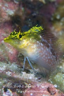 Diamond Blenny Yellow Variation Profile 3