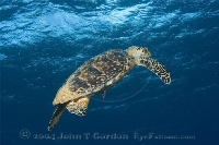 Hawksbill Turtle Swimming Up 3