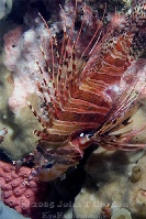 Spotfin Lionfish Wounded