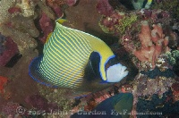Emperor Angelfish Potrait