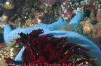 Sea Star and Crinoid
