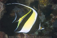 Moorish Idol Profile 2