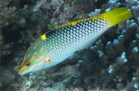 Checkerboard Wrasse Intermediate