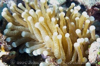 Anemone Tentacles