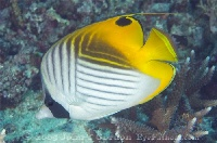 Threadfin Butterflyfish Profile 1