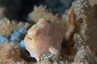 Giant Frogfish Juvenile