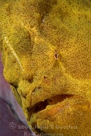 Giant Frogfish Portrait