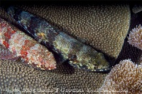 Reef Lizardfish Pair