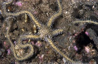Brittle Star on Reef