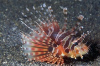 Zebra Lionfish Profile 1