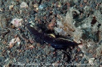 Black Shrimpgoby