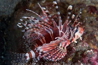 Zebra Lionfish Profile 2