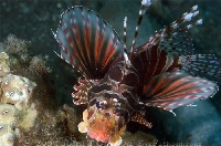 Zebra Lionfish Fins Spread-out 2
