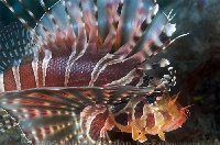 Zebra Lionfish Portrait