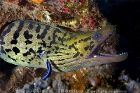 Fimbriated Moray & Bluestreak Cleaner Wrasse