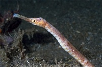 Short-Tailed Pipefish Portrait 2