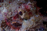Raggy Scorpionfish Intermediate