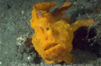 Painted Frogfish Profile