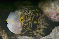 Snowflake Moray Portrait