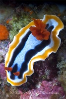 Lembeh Nudibranch 8