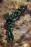 Lembeh Nudibranch 10