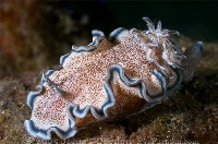 Lembeh Nudibranch 11