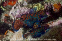 Mandarinfish Pair