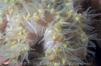 Colonial Anemone Yellow