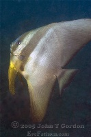 Golden Spadefish Intermediate