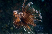 Common Lionfish Profile