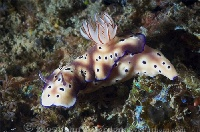 Lembeh Nudibranch 12