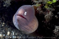 White-Eyed Moray Portrait