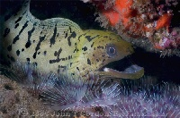 Fimbriated Moray with Feather Dusters