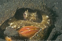 Common Reef Octopus 4