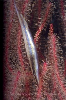Razorfish in front of Gorgonian