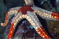 Sea Star on Reef