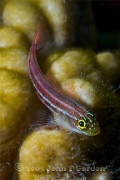 Striped Triplefin Portrait