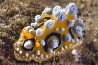 Lembeh Nudibranch 16