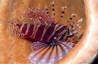 Zebra Lionfish in Sponge 2